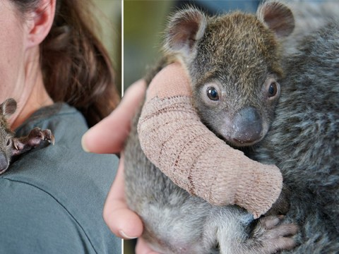 Orphaned baby koala gets fitted with a tiny arm cast after falling from a tree