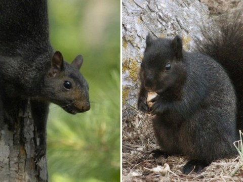Some squirrels have black fur due to 'interbreeding', study finds