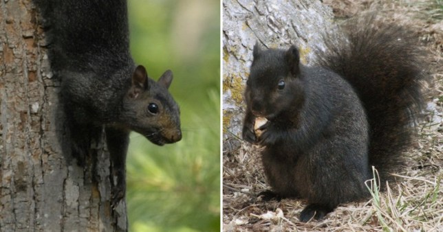 Black squirrels are caused by grey squirrel incest