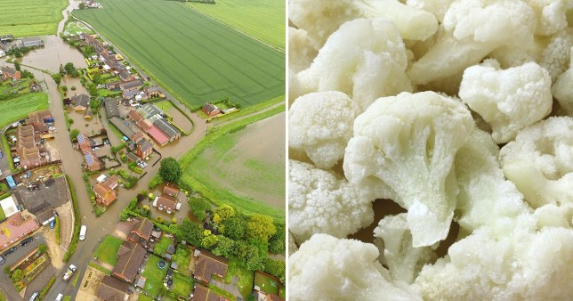 Cauliflower crops in Lincolnshire