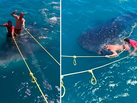 Jerks filmed 'surfing' on back of rare protected whale shark