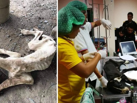 Skeletal Great Danes rescued from abandoned breeding farm
