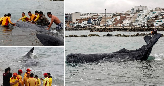 Bid by surfers to save baby whale washed up on beach in Peru