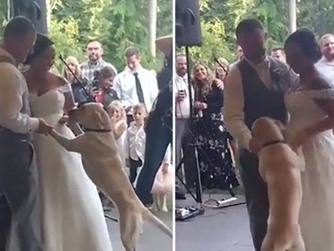 Beautiful moment Labrador joins her humans for their first dance as husband and wife