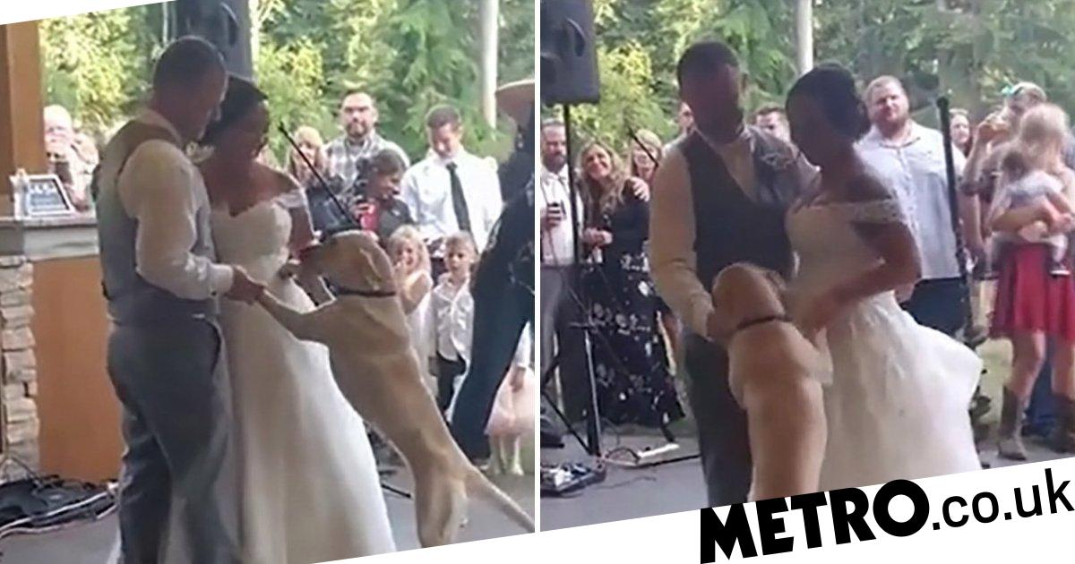Beautiful moment Labrador joins newlyweds for their first dance