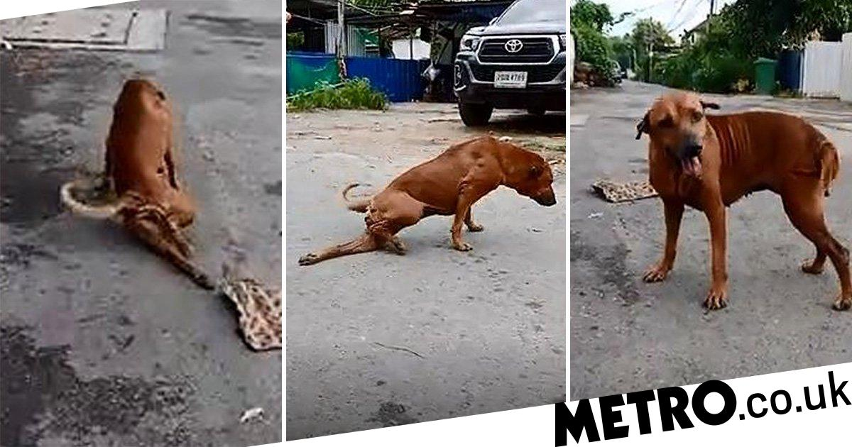 Clever street dog fakes broken leg to get snacks