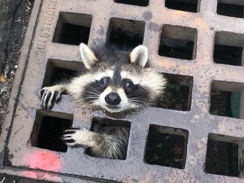 Raccoon really regrets going down the drain to get food