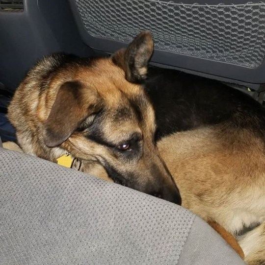 Terrified dog German Shepherd Rocco left at animal shelter because his family is having a baby