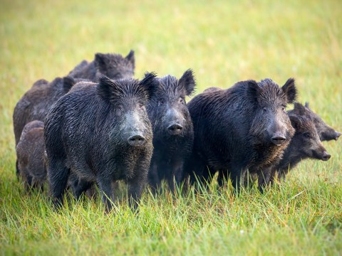Man claims he needs assault rifles to stop feral hogs raiding his garden