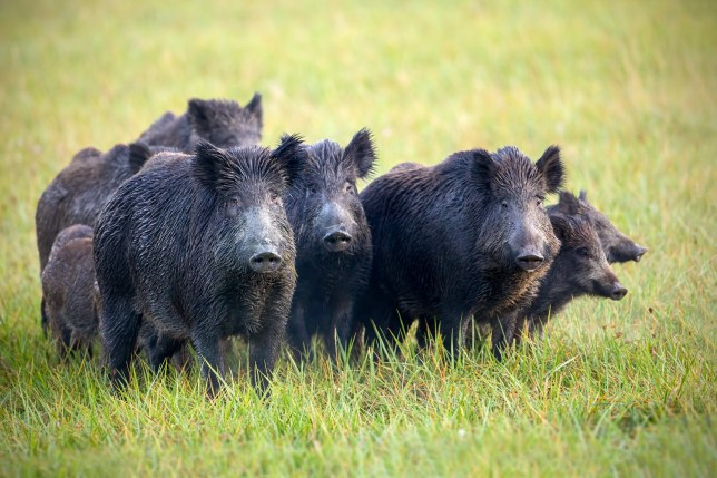 Man claims he needs assault rifles to stop feral hogs