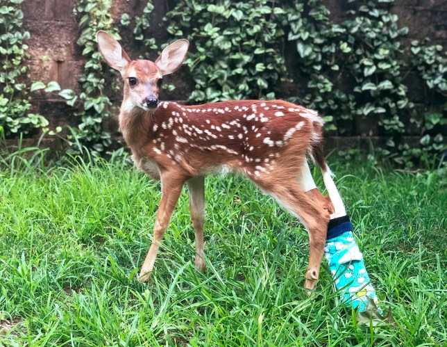 Baby deer is sporting a pink cast after being found with broken leg