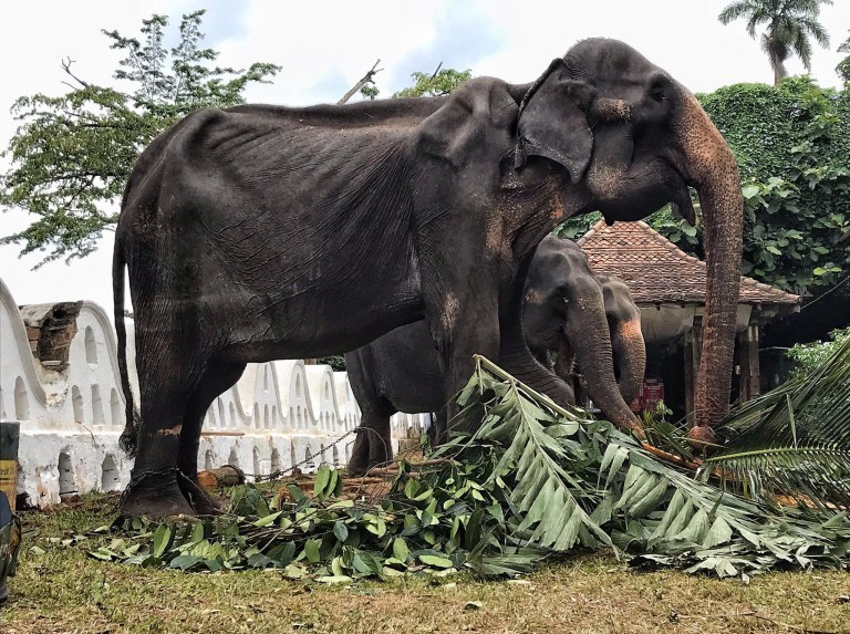Starved 70-year-old elephant Tikiri is forced to work at Kandy Esala Perahera