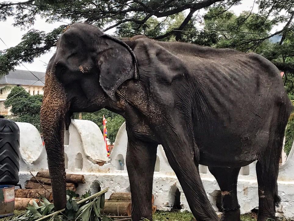 Hasil gambar untuk tikiri elephant