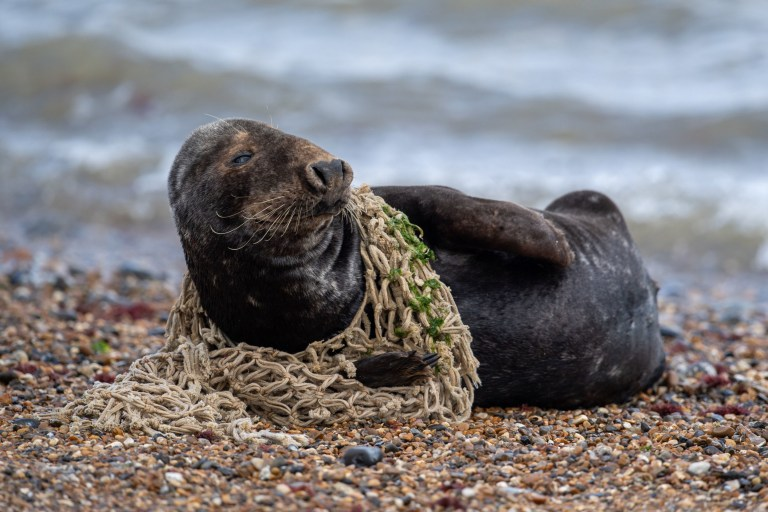 Seal Struggles After Getting Stuck In Plastic Dumped In