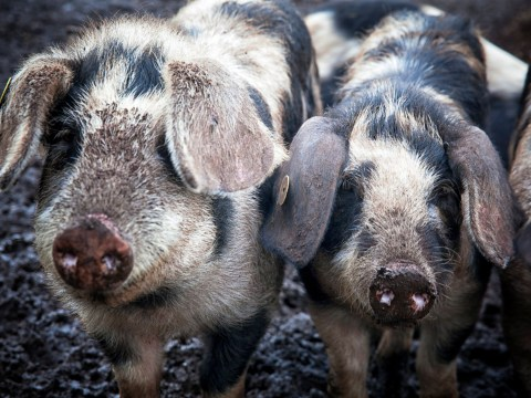 Farmers jailed after smuggling pig semen in shampoo bottles