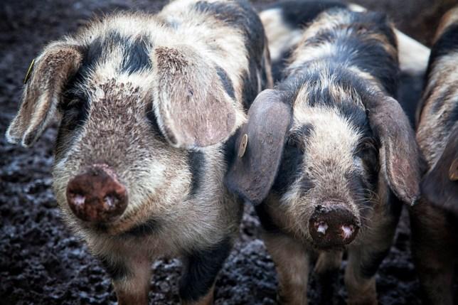 Farmers smuggled the boar semen into Australia in shampoo bottles