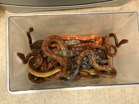 Box full of live snakes dumped in road outside vet's