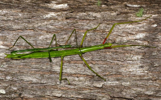 Mandatory Credit: Photo by Chameleons Eye/REX/Shutterstock (2051258b) A male and female stick Insect (Clitarchus hookeri) mating in the rain forest of New Zealand Various - 2012