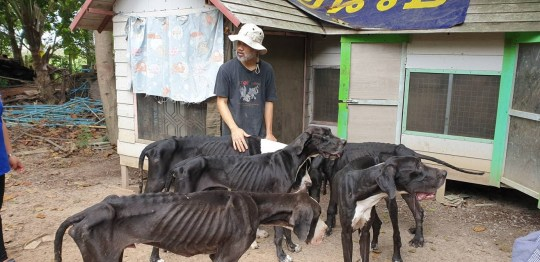 NEWS COPY - WITH VIDEO AND PICTURES This is the harrowing moment 15 skeletal Great Danes were rescued after being left to starve at an abandoned breeding farm. The neglected pooches were had been living at the house in??Pathum Thani, central Thailand, before the owner fled several weeks ago.?? With nobody to care for them, they were not properly fed and lost so much weight that their bones were poking through their fur. Volunteers were alerted to the plight of the dogs and arrived at the home on Monday (19/08) to finally rescue the animals and give them all a good meal. The pooches are now recovering with helpers from Watchdog Thailand and have even been 'adopted' by the country's King, who heard about their treatment and ordered his household to fund their recovery.