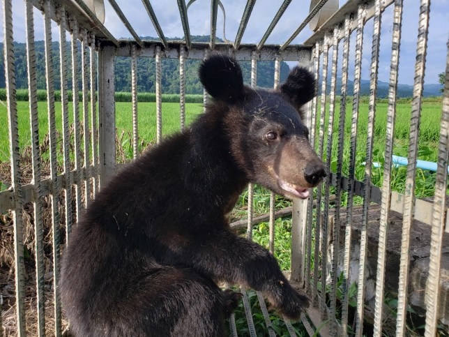 epa07789680 An undated handout photo made available by Free The Bears, an Australian wildlife-protection non-profit organization, shows a moon bear that was rescued from captors, at an uknown location in Laos (issued 24 August 2019). Free The Bears announced on 23 August 2019 that on 19 August 2019 it conducted a rescue operation for five moon bears from three different locations in Laos. The bears were said to have been rescued from malnourishment and ill-treatment. The Perth-based non-profit organization, founded by 81-year-old Mary Hutton in 1993, has so far saved more than 900 of the animals. EPA/FREE THE BEARS HANDOUT AUSTRALIA AND NEW ZEALAND OUT HANDOUT EDITORIAL USE ONLY/NO SALES