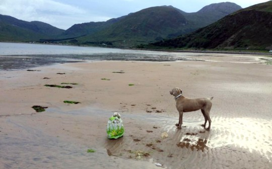 PIC BY (PICTURED: Loli on the beach) This intelligent Weimaraner has cracked down on plastic pollution after copying her owners by collecting rubbish across UK beaches. Pooch Loli now spends her entire walk collecting waste in a bid to help her owners, Trish Brewster 54, and Yan Balewicz, 60. Loli collects atleast one bin bag full of rubbish every day while on the beach front at their holiday home in Glenelg, Scotland. But Loli doesnt stop at just collecting plastic waste on land, she also collects rubbish while shes out at sea in her owners small boat. Trish, from York, is now sharing their story to help inspire other owners to start collecting plastic as if Loli, now 13, can do it, anyone can. SEE CATERS COPY.