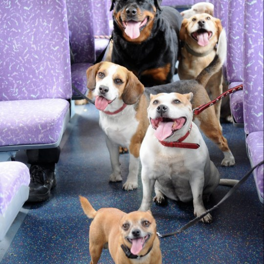 - Picture of dogs on the news bus route for dogs TRIANGLE NEWS 0203 176 5581 // contact@trianglenews.co.uk By Ralph Blackburn With pix THE UK'S first bus route for DOGS is being unleashed. Mutts will be given their own free canine tickets, doggy treats and litter bags on routes by bus company Go Coach. The drives will cover dog friendly castles, country parks and gardens when the two year Follow My Lead campaign is launched in Kent.