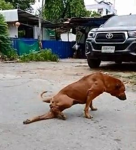 Clever dog! Canny street mutt fakes a broken leg to get attention and food from passers-by in Bangkok The pooch named Gae drags his back left leg along the ground like he is hurt When people begin to crowd around him he then gets up and walks away Residents in Bangkok, Thailand say he always does the trick to deceive people