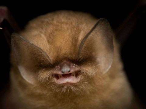 These rare bats have been given manicures in the name of conservation