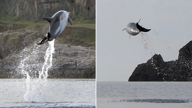 A rare sighting of dolphins was made off the coast of Devon (Picture: Apex news and Pictures)