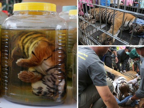 More than half the tigers rescued from tourist attraction at Thai temple are dead