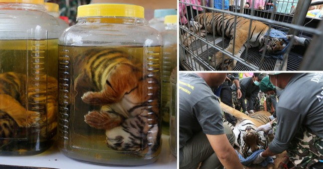 Tiger cub carcasses are seen in jars and live tigers rescued from the controversial Tiger Temple, in Kanchanaburi province, west of Bangkok, Thailand (Picture:REUTERS/Chaiwat Subprasom)