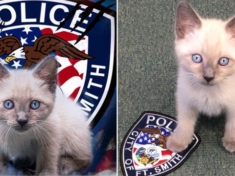 Cat joins American police force and his beady blue eyes match their crest