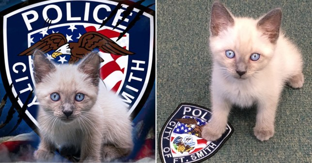 Cat Joins American Police Force And His Blue Eyes Match