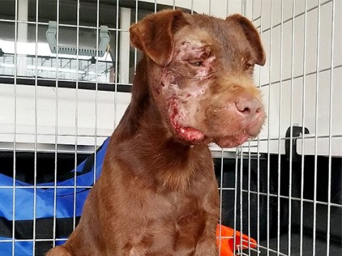 Dog's horrific injuries after being forced to fight with badger