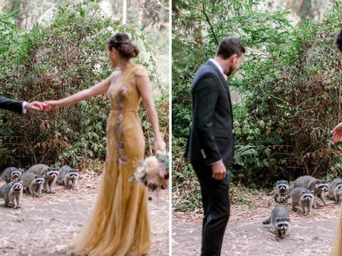 Curious raccoons interrupt couple's wedding photoshoot