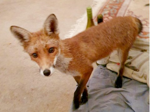 Woman mauled by fox after it crept into her living room