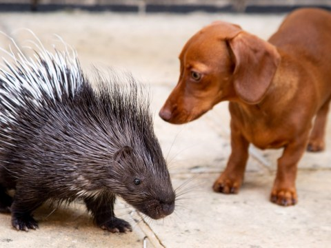Diablo the porcupine and Fig the sausage dog are the best of friends