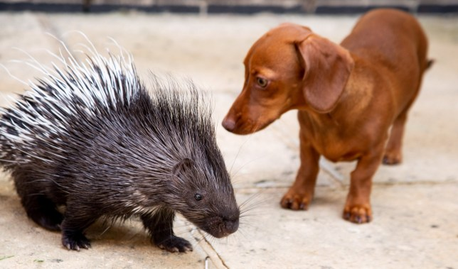 The porcupine and sausage dog together