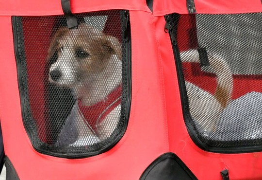 A 15-week-old Jack Russell-cross puppy adopted by Prime Minister Boris Johnson and his partner Carrie Symonds arrives in Downing Street, London. PRESS ASSOCIATION Photo. Picture date: Monday September 2, 2019. See PA story POLITICS Dog. Photo credit should read: Dominic Lipinski/PA Wire
