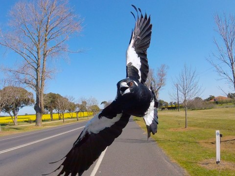 Cyclist dies trying to avoid hitting magpie swooping at him