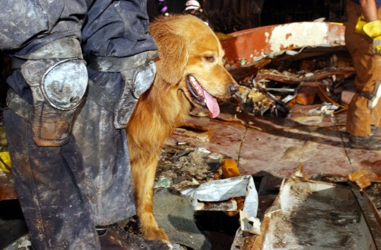 395165 17: Kent Olson and his dog, Thunder, from Lakewood, Washington search through the rubble for victims of the September 11 terrorist attacks at the World Trade Center September 21, 2001 New York City, NY. (Photo by Andrea Booher/FEMA/Getty Images)