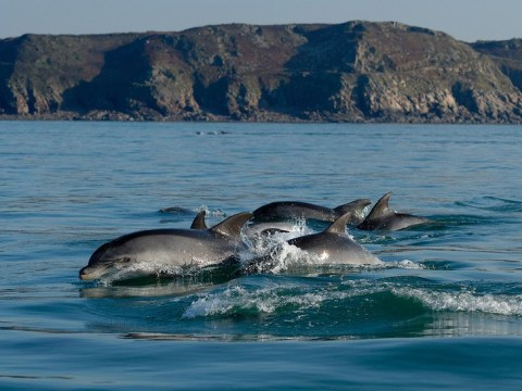 Dolphins in English Channel being poisoned by toxic chemicals