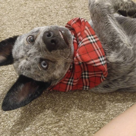 USA: Adorable: Moose's chamring disposition and unusual looks would melt even the stoniest heart. THIS ADORABLE pooch has parts of his brain missing, a crooked nose, and a huge underbite ? but he does have an ever-present smile and an owner who describes him as the ?happiest dog in the world?. Charming Moose, a three-year-old blue heeler or Australian Cattle Fog, was born with a deformed skull and several complications which only made themselves apparent after he was six months old. Faced with these difficulties, some dogs may have been abandoned by their owners or perhaps even put down. Fortunately for Moose, his squished brain and distinctive looks only ever made him more loveable in his owner?s eyes. Delightful photos of Moose show him as a tiny puppy with his striking, mismatched eyes; showing off his permanent grin; and donning a pair of novelty spectacles. Mediadrumimages/@MooseBoy16/JenniferOsborne