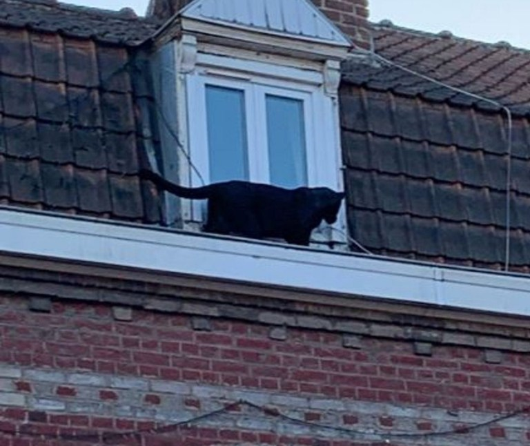 "Pic shows: The local emergency services posted these images on social media. These images show a black panther ""taking a stroll"" on the rooftops of a French town sending regular ""cats running off down the street."""