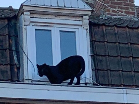 Black panther spotted prowling on rooftops is on the loose again