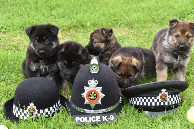 """A police force has issued a wanted appeal - to help name five new puppies with names all beginning with """"F"""". Dog-lovers have coming up with a string of """"F"""" names for the five-week-old German Shepherds that will work alongside handlers. South Wales Police are taking suggestions for names for the male and female pups on social media and have had more than 3,000 replies. Pictured here are the dogs WALES NEWS SERVICE"""
