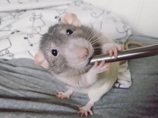 Darius the rat holding a brush