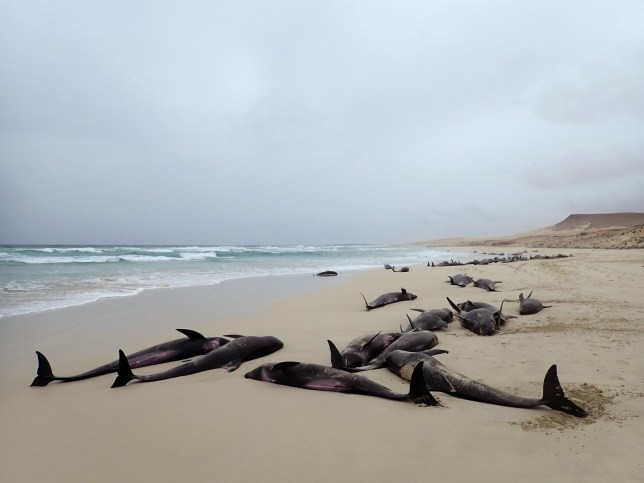 epa07870694 A handout photo made available by Loro Parque zoo on 26 September 2019 shows some 100 dolphins run aground on Altar beach in Boavista Island, Cape Verde, 25 September 2019. A Loro Parque team unsuccessfully tried to return the cetaceans to the sea. EPA/LORO PARQUE HANDOUT HANDOUT EDITORIAL USE ONLY/NO SALES