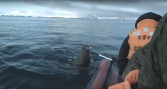 Crew members were forced to fend off the walrus with a pole (Picture: Sever Press; The Siberian Times)