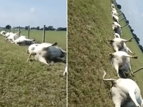 Creepy footage shows cows found dead in a straight line after a lightning storm